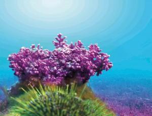 Lithothamnium calcareum - red algae
