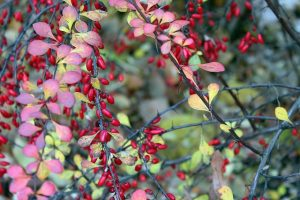 barberry berries